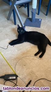 Doy gato en adopción