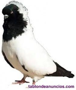Vendo palomas mensajeras  blancas y num cabeza de monge  15 euros pareja