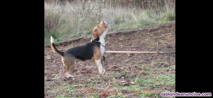 Beagle monta