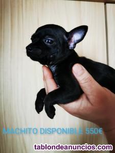 Chihuahua magníficos cachorros
