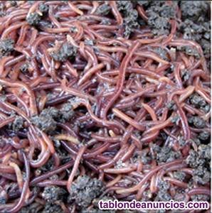 Lombrices rojas californianas