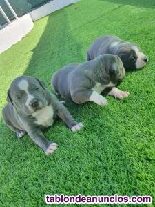 American pitbull terrier blue (autentico)