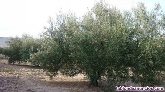Finca de olivar con casa de campo
