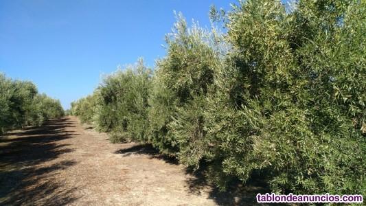 Muy buena finca de olivar intensivo