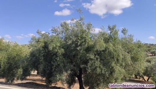 Muy buena tierras de olivos