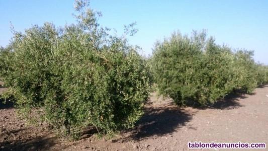 Buena finca de oliva a 1 pie