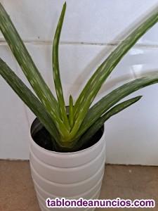 Venta Plantas de Aloe Vera Natural