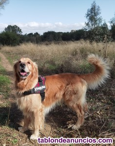 Golden Retriever montas