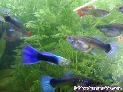 Vendo peces  guppys y platys  mickey mouse alevines y adultos.