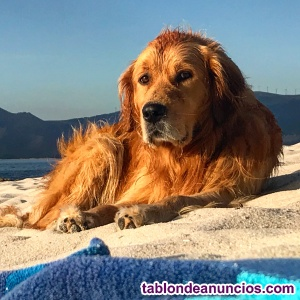 Monta Golden Retriever