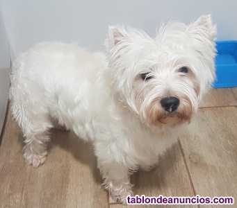 Se ofrece para monta west highland white terrier