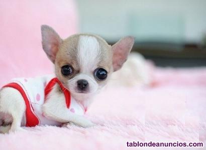 Chihuahua me regalen