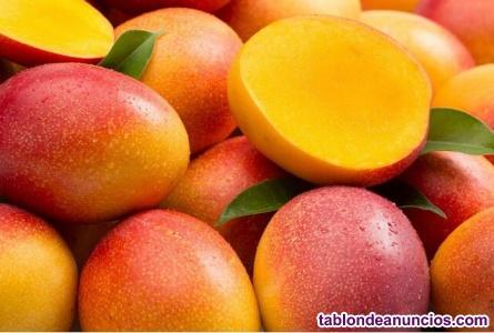 Plantas de mango - injertados
