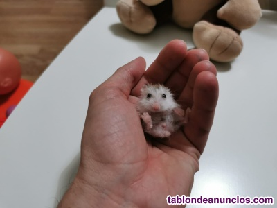 Hamsters ruborowski + Jaula