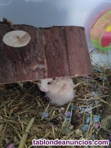 Regalo crías de hamster sirio o común