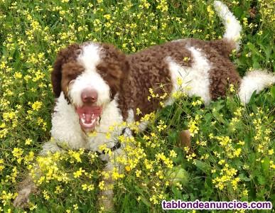 Perro de agua español para monta