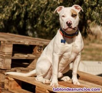 Hordo. American Staffordshire Terrier en Adopcion