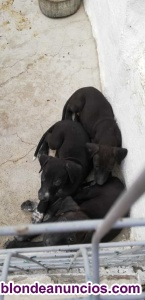 Se venden cachorros podenco