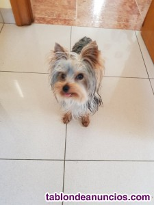 Yorkhsire terrier  mini ..macho para monta