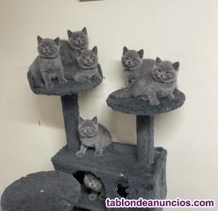 Impresiosnantes gatitos de pura raza disponibles