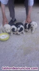 Cachorros Golden collie raza pura