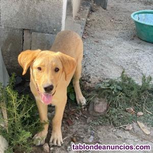 Laika en adopción