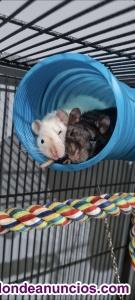 Regalo ratas domésticas