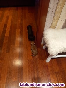 Cachorros  Teckel Kaninchen pelo corto