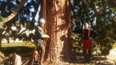 Poda y tala en altura de árboles