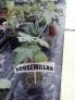 Fotos del anuncio: Semillas de ricino en doña blanca y jerez
