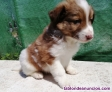Border collie de villa biznaga