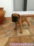 Boxer cachorros color canelas con blanco