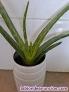 Fotos del anuncio: Venta Plantas de Aloe Vera Natural