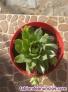 Fotos del anuncio: Planta Echeveria