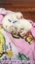 Fotos del anuncio: Cachorros Bichon Maltes